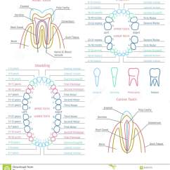 Adult Tooth Diagram Fender Squier Wiring Chart Human Elsavadorla