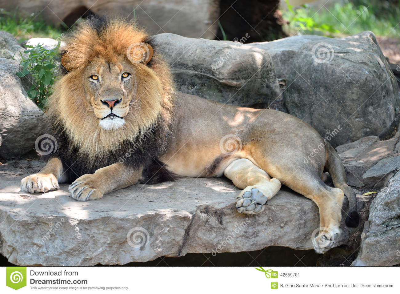 Cute Cubs Wallpaper Adult Male Lion Stock Image Image Of Majestic Mame