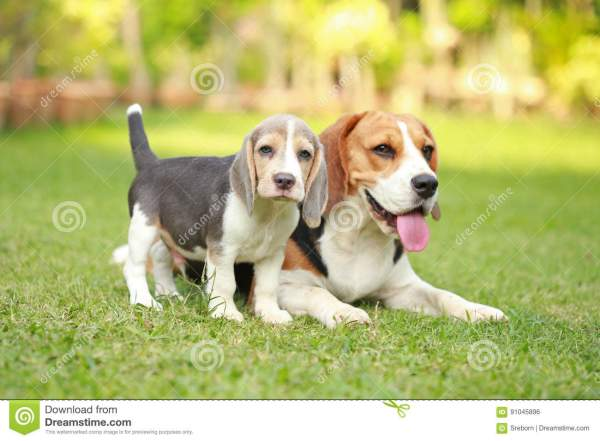 Adult And Puppy Beagle Dog Playing In Lawn Stock
