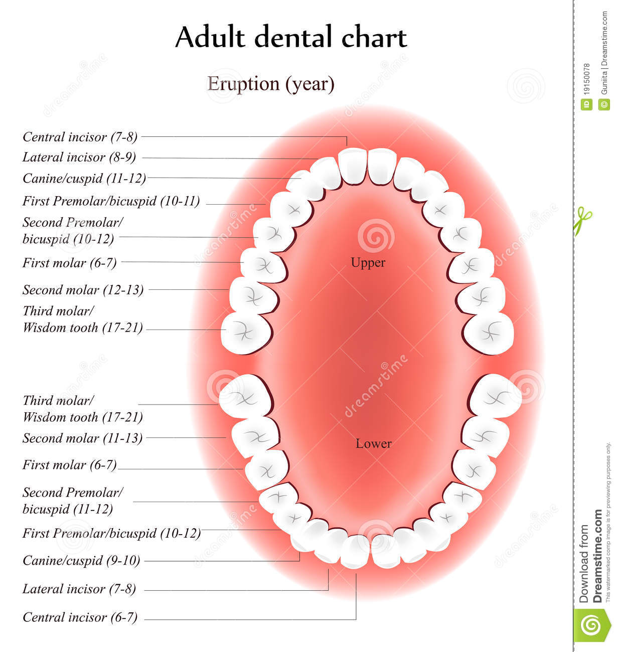 teeth names diagram air horn wiring and locations get free image about
