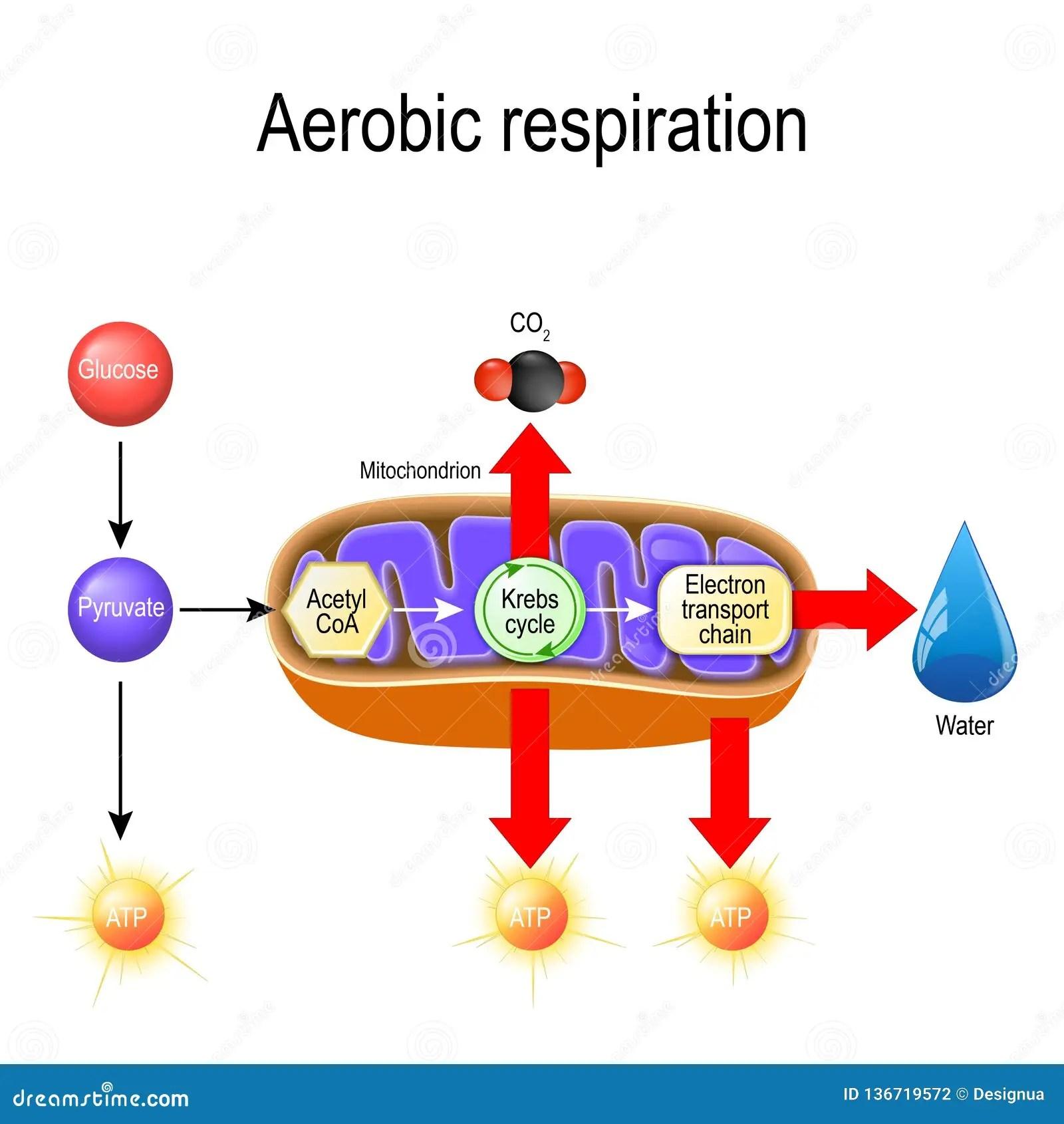 Aerobic Respiration Cellular Respiration Stock Vector