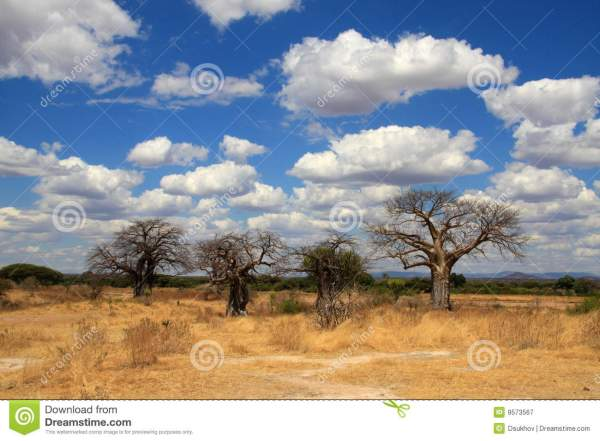 African Landscape With Baobab Trees Stock - Of Green Park 9573567