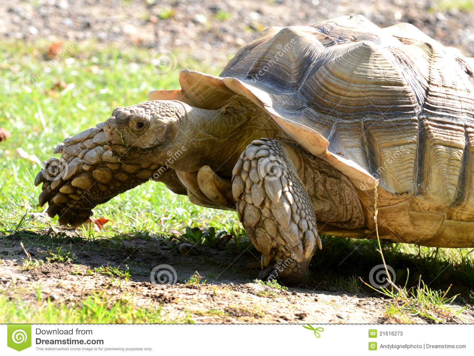 Thigh Tortoise Spur African