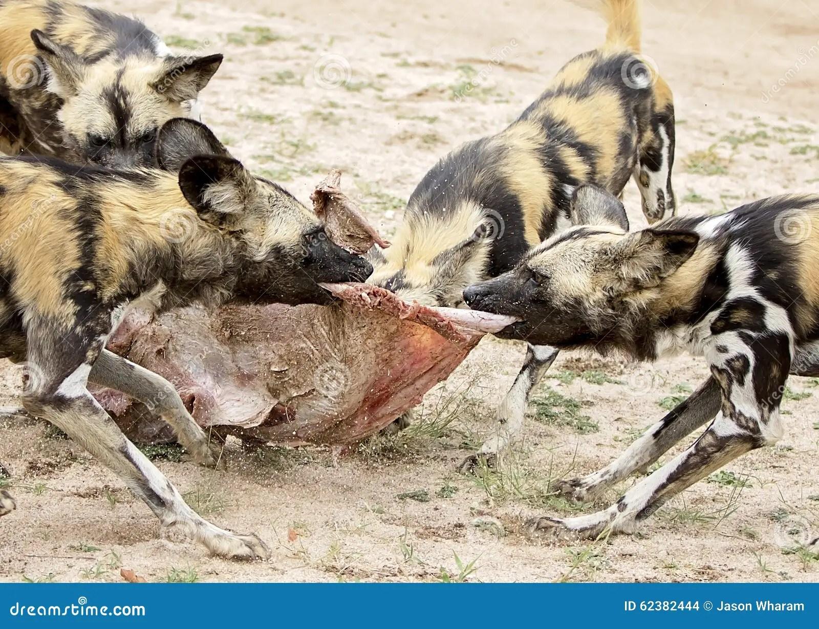 African Wild Dogs Feeding Stock Photo Image 62382444