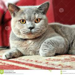 Sofa By Fancy G Plan Chloe Reviews Alert Pedigree Cat Ready To Pounce! Stock Images - Image ...