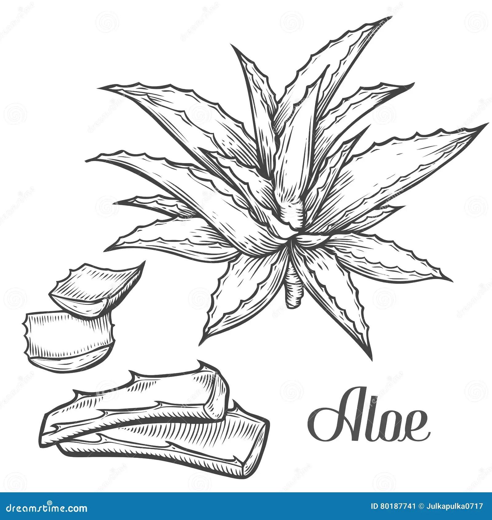 Aloe Vera Plant Hand Drawn Engraving Vector Illustration
