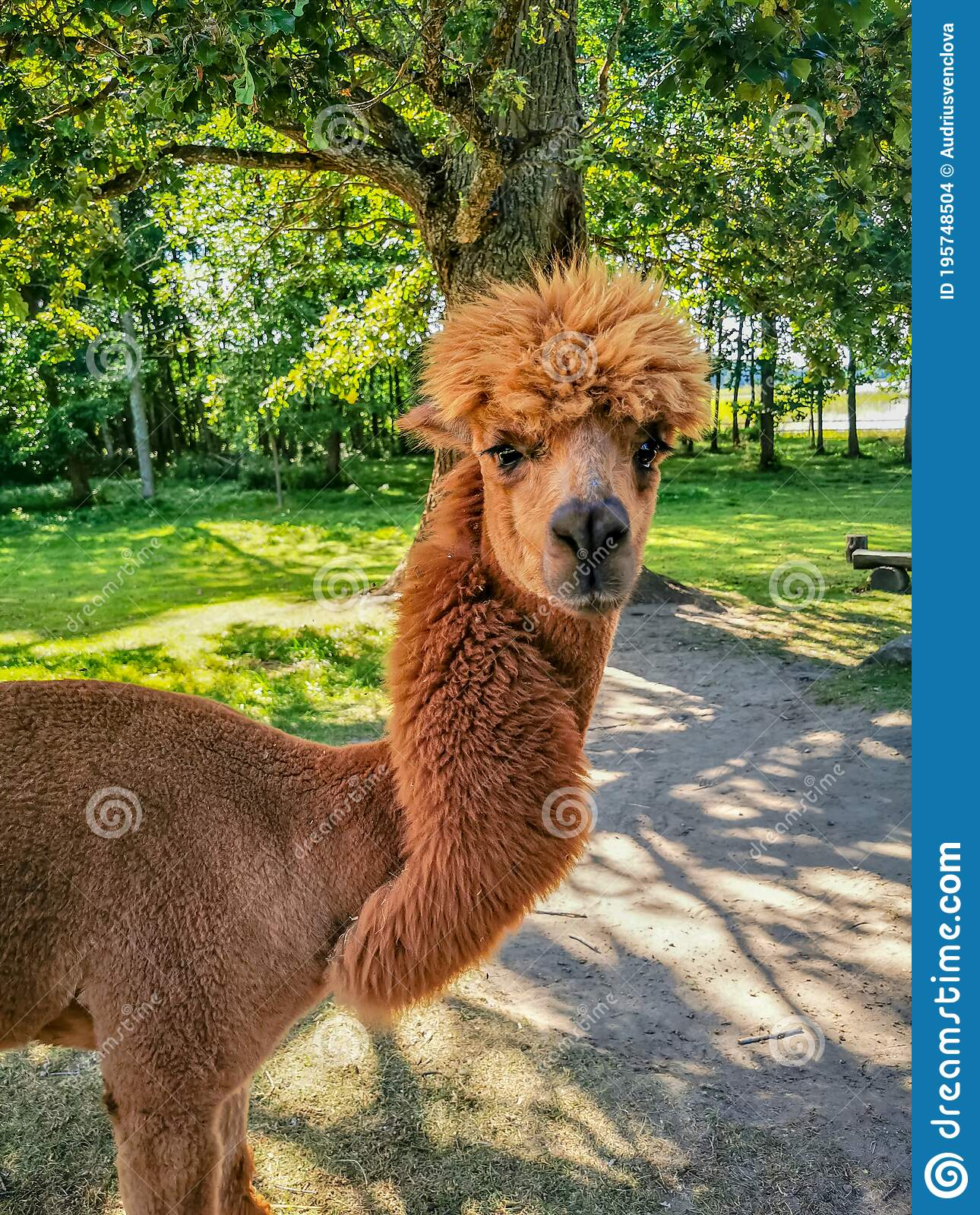 Funny Looking Llama : funny, looking, llama, Alpaca, Funny, Haircut,, Relative, Llama, Looking, Camera, Stock, Photo, Image, Horizontal,, Heart:, 195748504