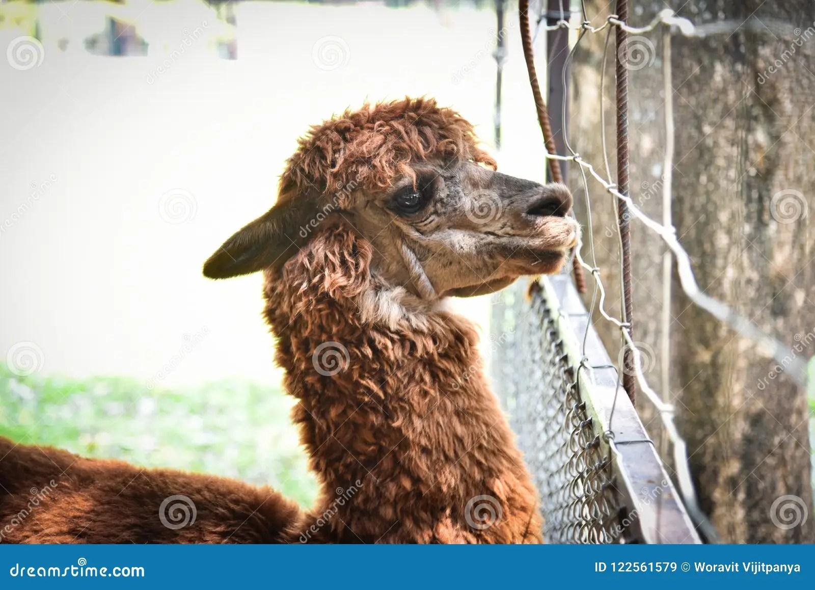 Alpaka stockbild Bild von tier gesicht schön abschluß