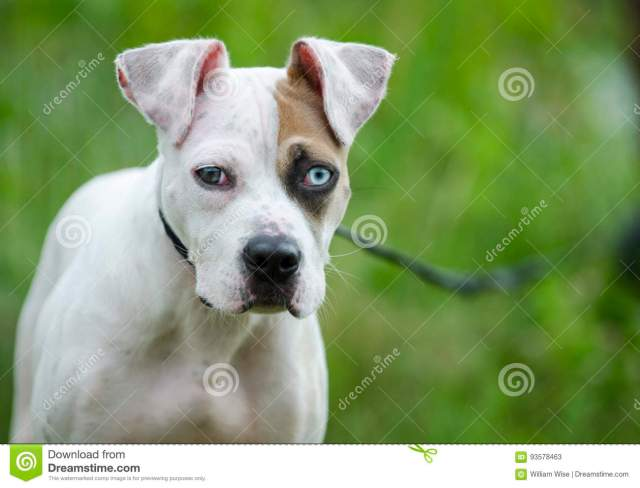 american bulldog mixed breed puppy dog with one blue eye stock image
