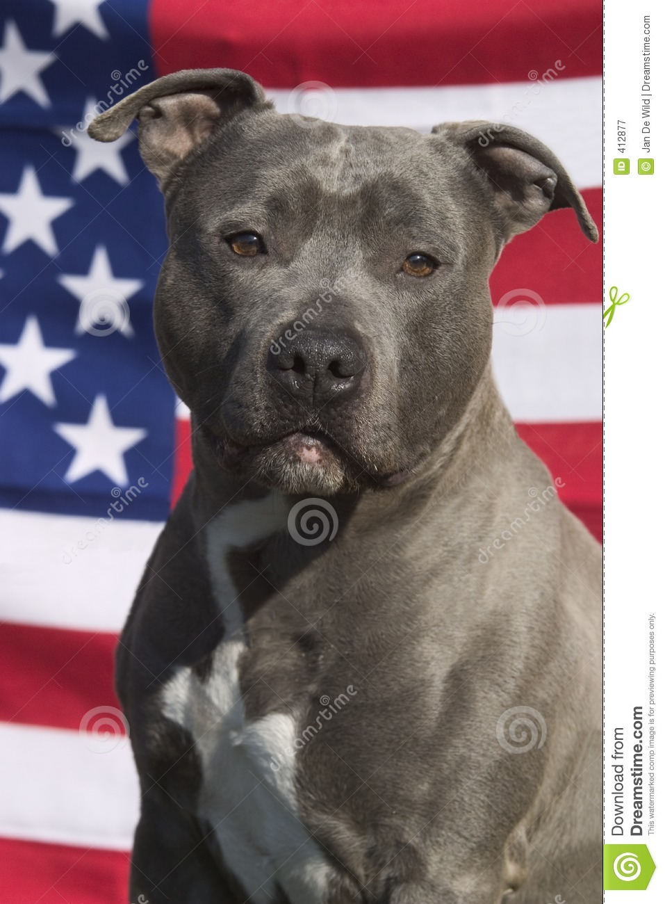 American Staffordshire Terrier Royalty Free Stock