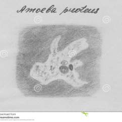 Amoeba Cell Diagram Sonic Electronix Wiring Microorganism In Sketch Style Structure Vector