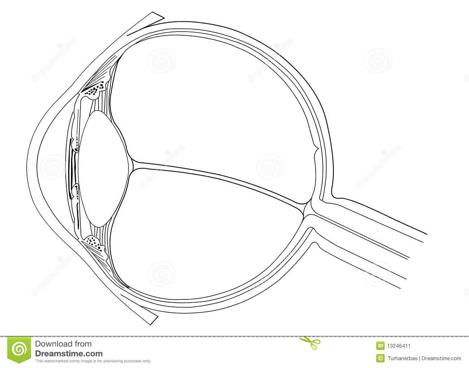 Anatomia Del Ojo Imagen De Archivo