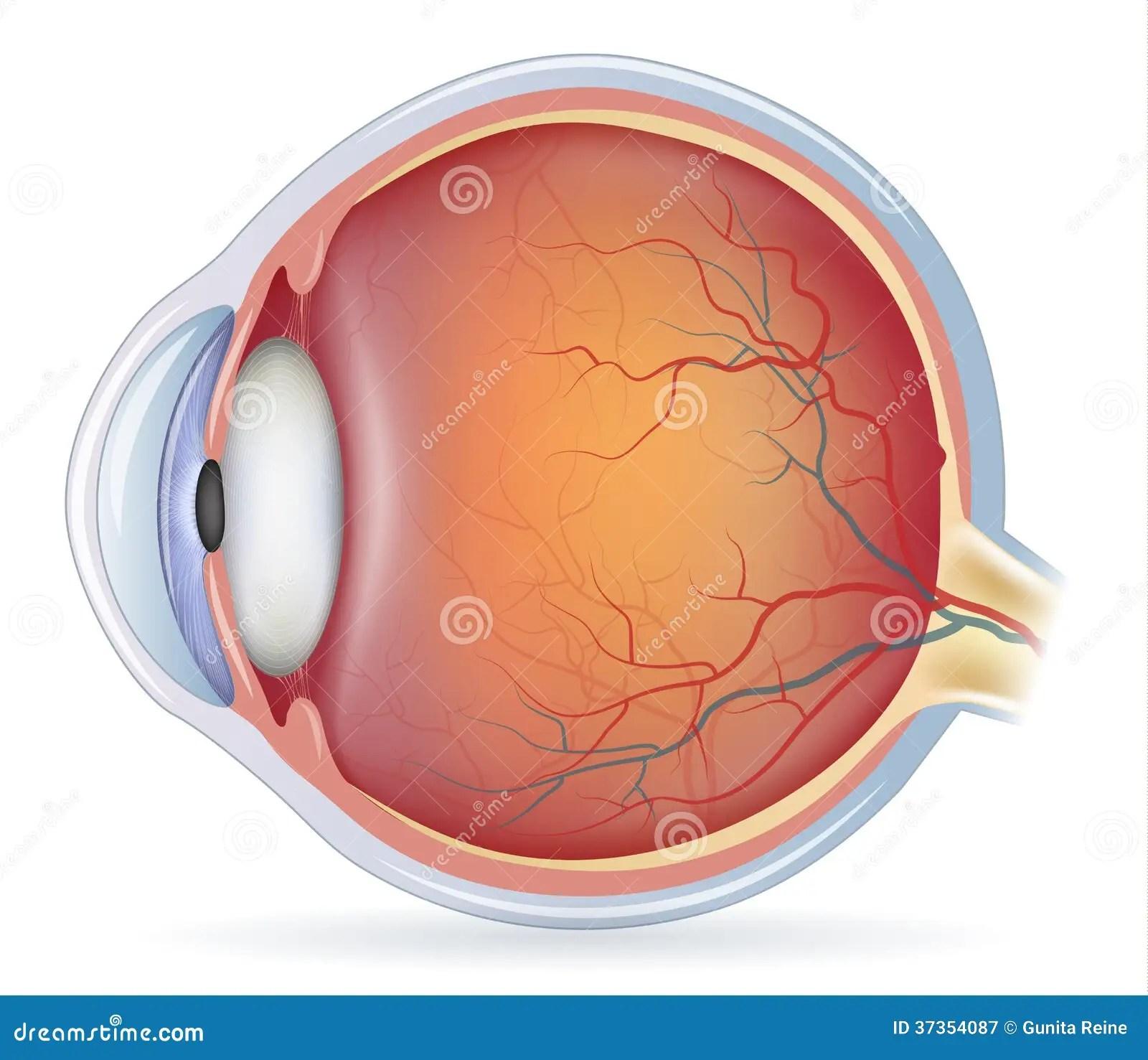human eye diagram unlabeled how to do a sankey anatomia dell 39occhio umano illustrazione vettoriale