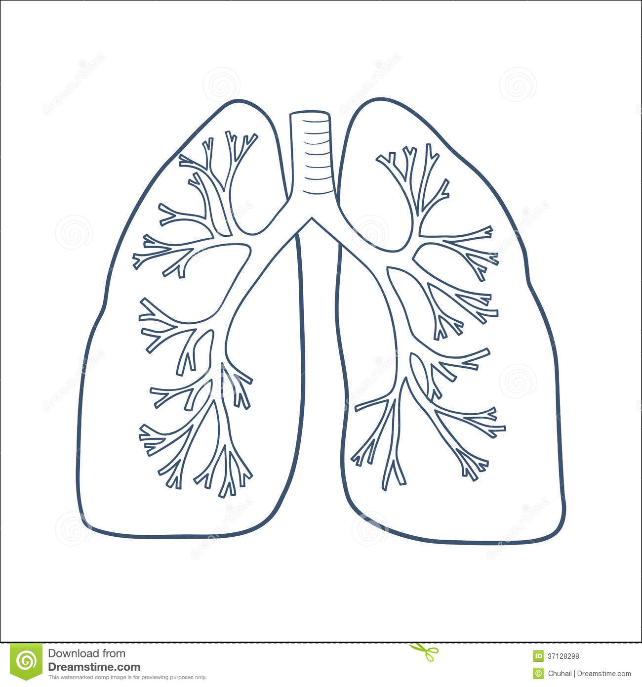 lung diagram drawing car equalizer anatomical lungs isolated on white stock vector