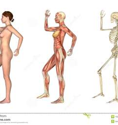 a set of anatomical overlays depicting the side view of a woman an arm and leg bent these images will line up exactly and can be used to study anatomy  [ 1300 x 944 Pixel ]