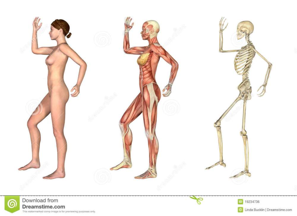 medium resolution of a set of anatomical overlays depicting the side view of a woman an arm and leg bent these images will line up exactly and can be used to study anatomy