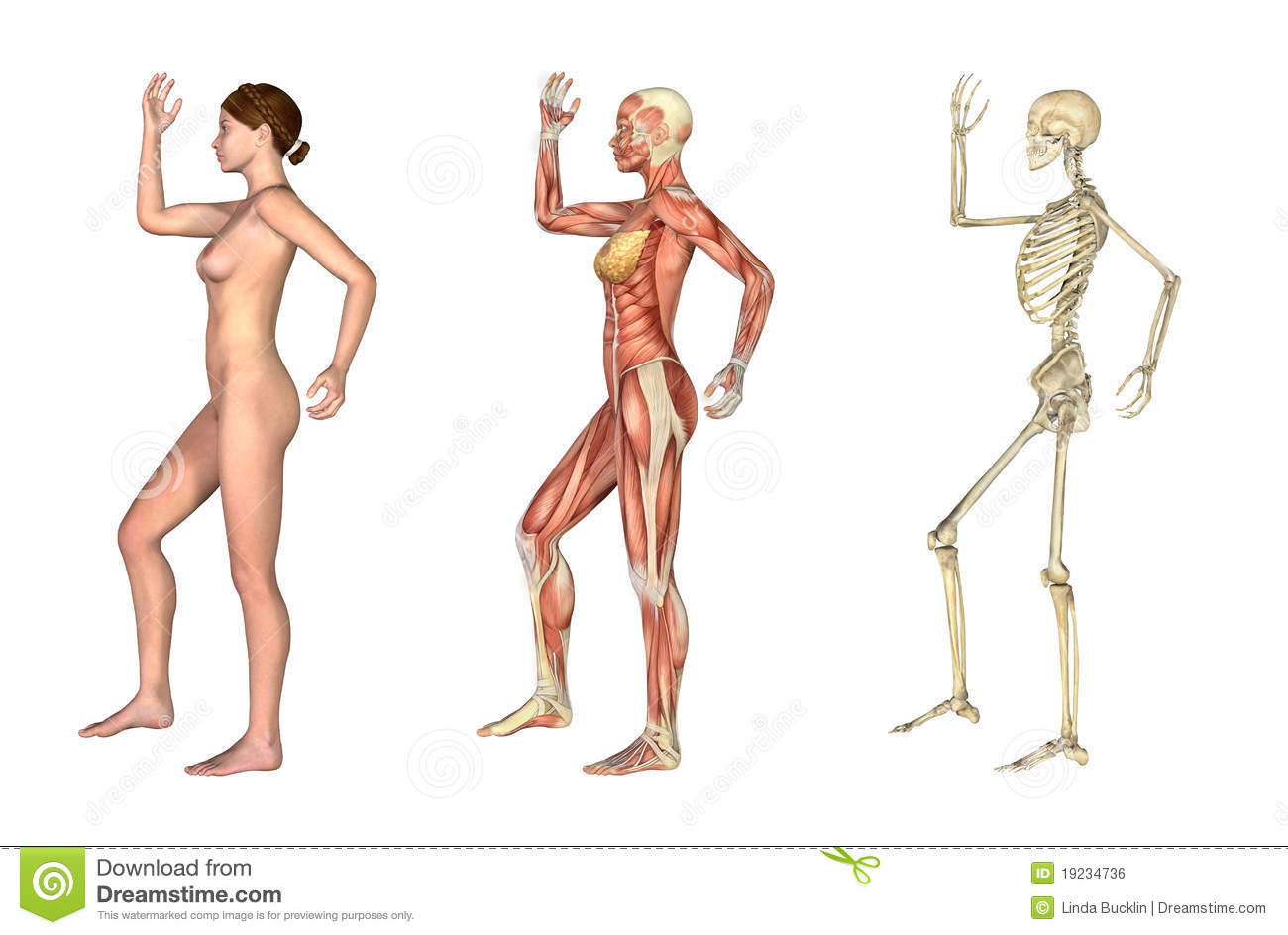 hight resolution of a set of anatomical overlays depicting the side view of a woman an arm and leg bent these images will line up exactly and can be used to study anatomy