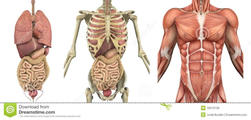 medium resolution of a series of overlays depicting the internal organs skeleton and muscles these images will line up exactly and can be used to study anatomy