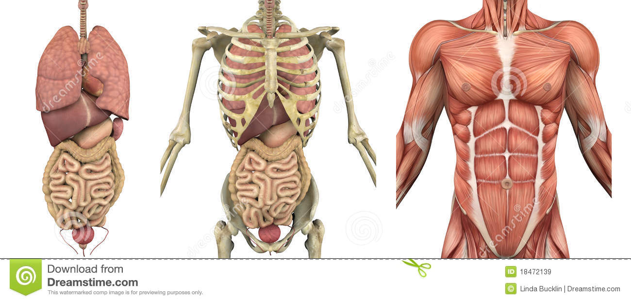 hight resolution of a series of overlays depicting the internal organs skeleton and muscles these images will line up exactly and can be used to study anatomy