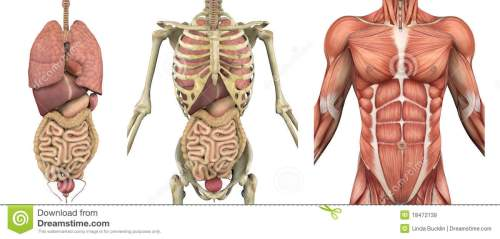 small resolution of a series of overlays depicting the internal organs skeleton and muscles these images will line up exactly and can be used to study anatomy