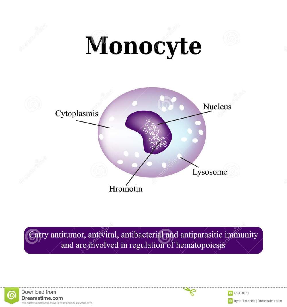 medium resolution of the anatomical structure of monocytes blood cells vector illustration