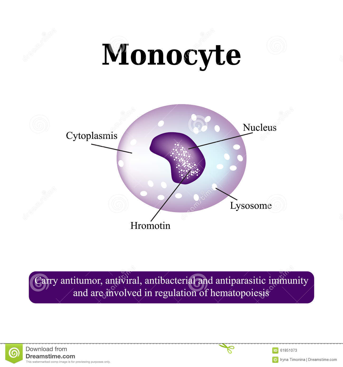 hight resolution of the anatomical structure of monocytes blood cells vector illustration