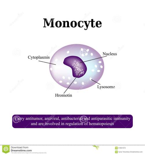 small resolution of the anatomical structure of monocytes blood cells vector illustration