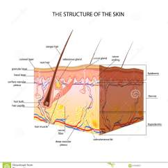 Dermis Layer Diagram B16a Vtec Solenoid Wiring The Anatomical Structure Of Skin Stock Vector - Image: 61948957