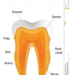 anatomical tooth labeled diagram stock vector illustration of a very lovely presented tooth with 3d shading [ 1042 x 1300 Pixel ]