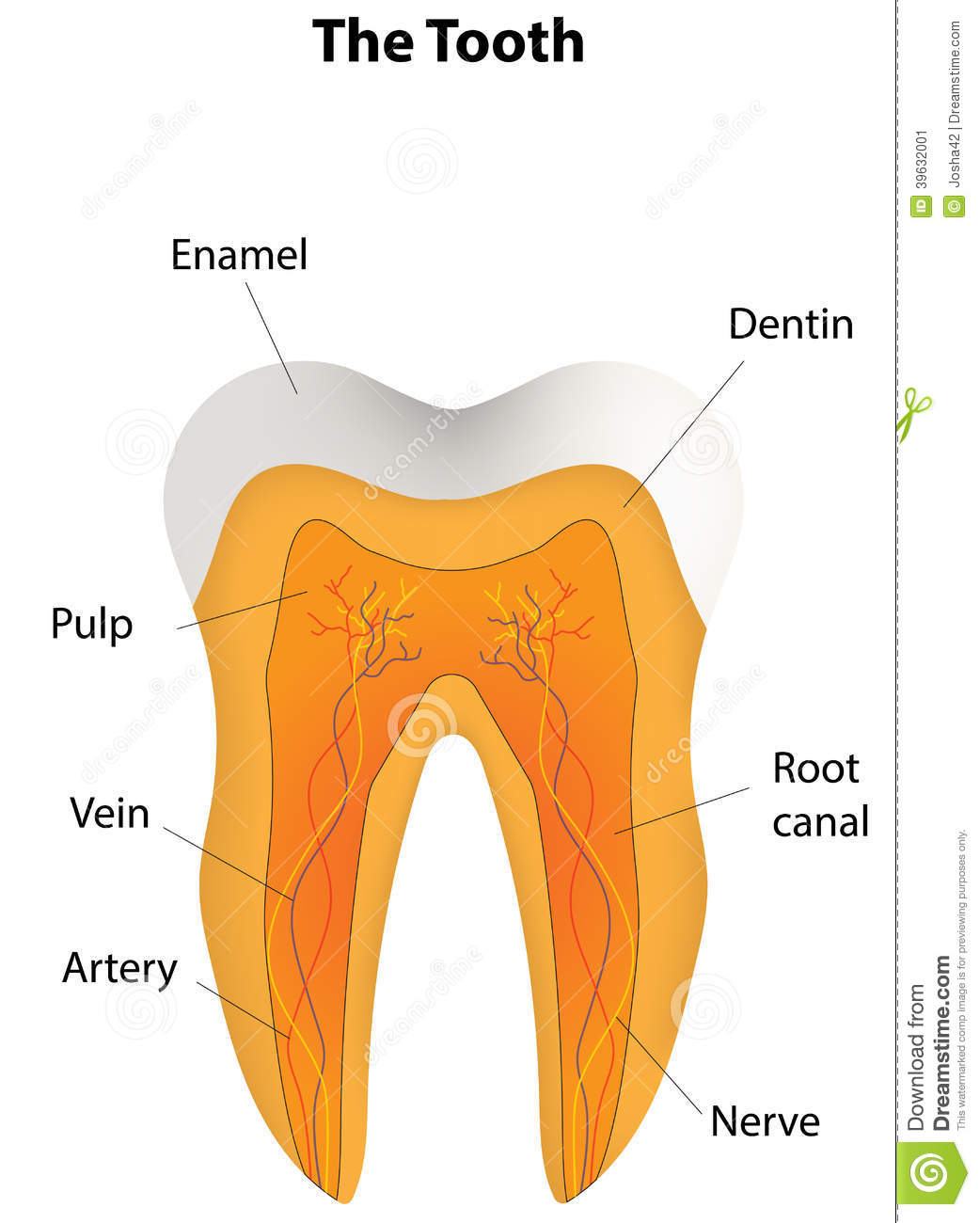 hight resolution of anatomical tooth labeled diagram stock vector illustration of a very lovely presented tooth with 3d shading