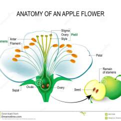 Flower Parts Diagram Bmw Radio Wiring Anatomy Of An Apple Stock Vector Illustration Educational Detailed With Cross Section Useful For Study Botany And Science Education Fruit