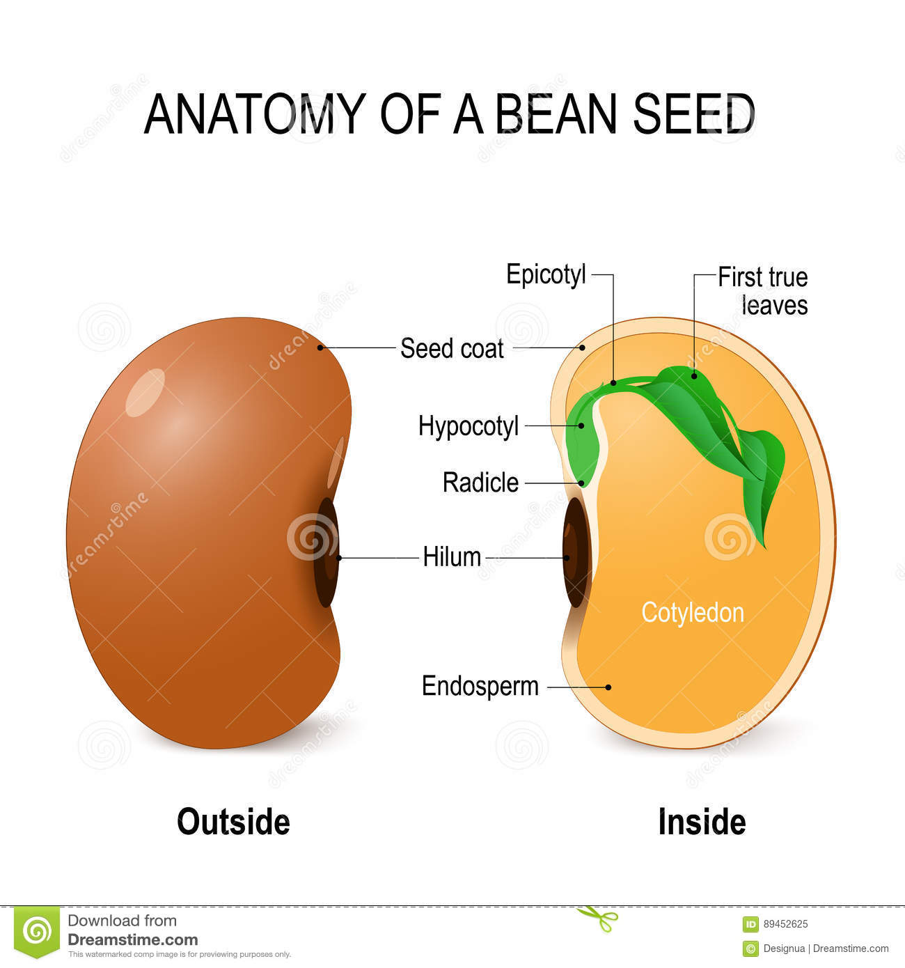 lima bean diagram to label mtd yardman wiring seed growth diversity elsavadorla