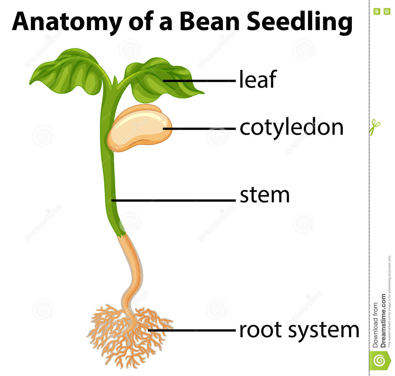Anatomy Of A Bean Seed Cartoon Vector