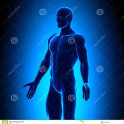 Skeletal And Muscular System Diagram Catholic Church Structure Anatomy Body - Iso View Blue Concept Stock Photos Image: 32284403
