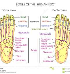 vector illustration of a human leg with denominations of the bones of the foot anatomy of dorsal and plantar views of the foot for advertising or medical  [ 1300 x 926 Pixel ]