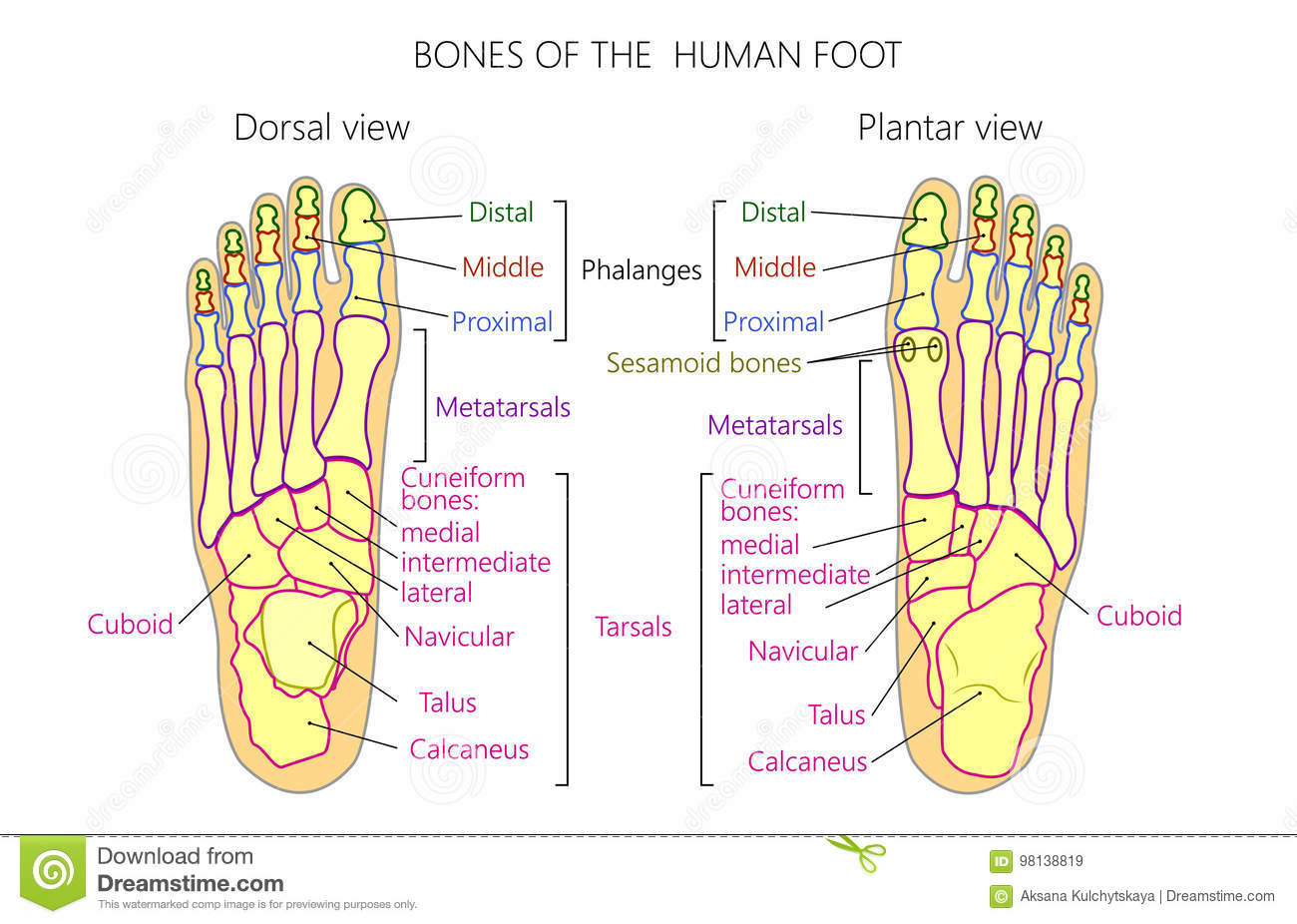 hight resolution of vector illustration of a human leg with denominations of the bones of the foot anatomy of dorsal and plantar views of the foot for advertising or medical