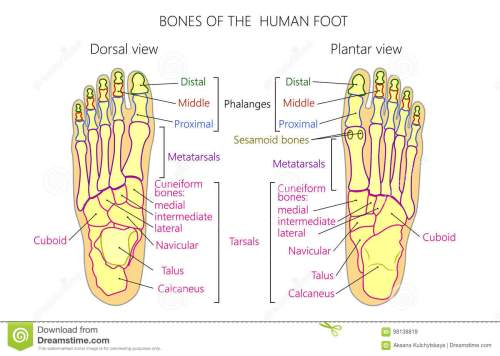 small resolution of vector illustration of a human leg with denominations of the bones of the foot anatomy of dorsal and plantar views of the foot for advertising or medical