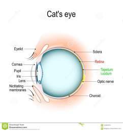 dog and cat eye diagram wiring diagram forward anatomy of the cat s or dog [ 1300 x 1390 Pixel ]