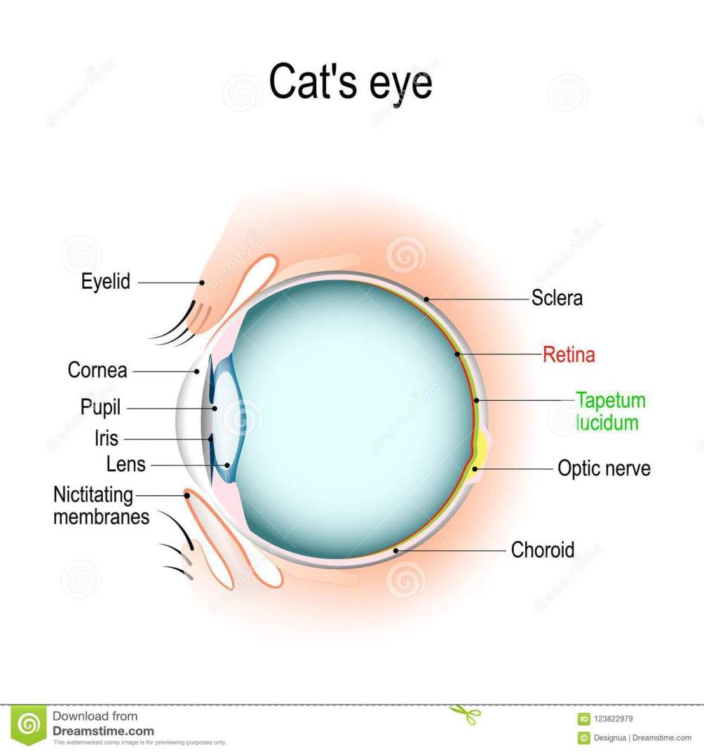 medium resolution of dog and cat eye diagram wiring diagram forward anatomy of the cat s or dog
