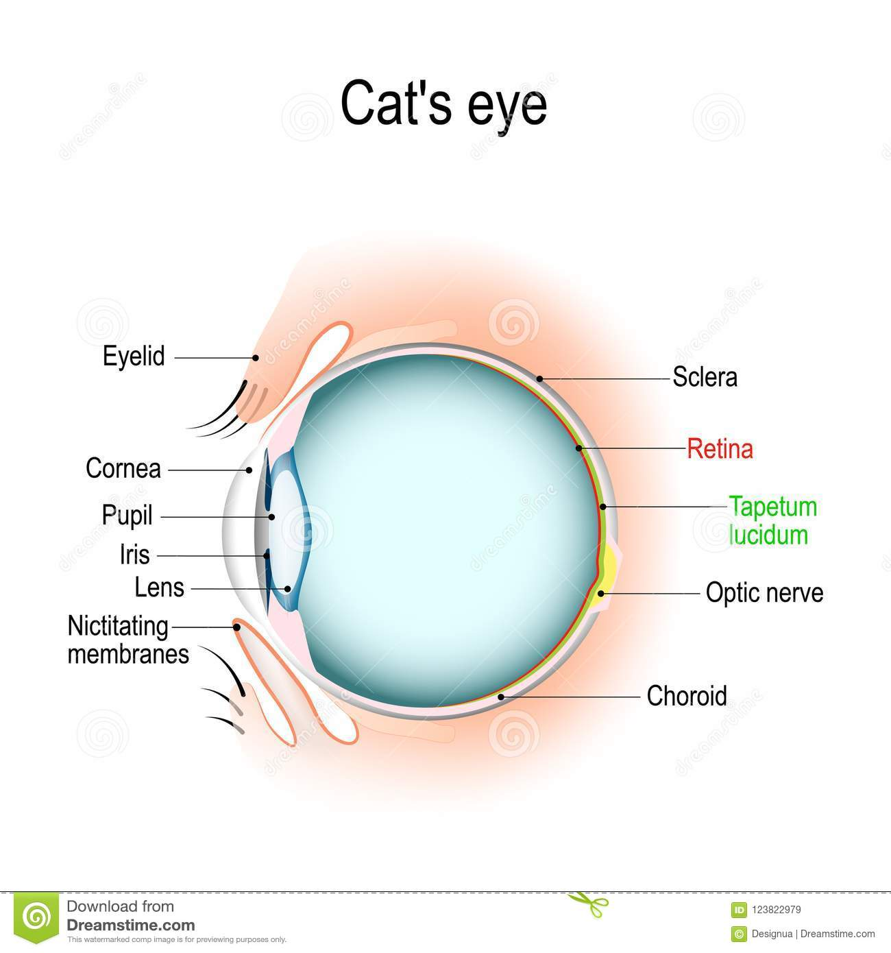 hight resolution of dog and cat eye diagram wiring diagram forward anatomy of the cat s or dog