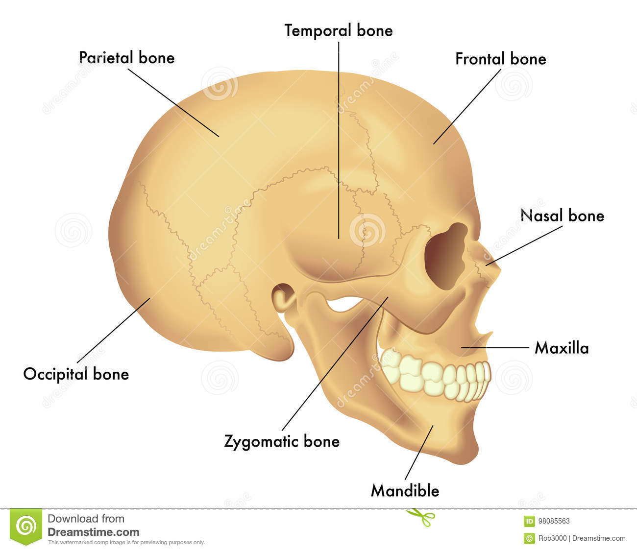 hight resolution of anatomy diagram of a skull