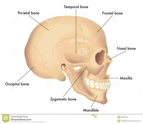 small resolution of anatomy diagram of a skull