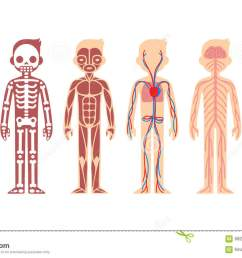 stylized male body anatomy chart skeletal muscular circulatory nervous and digestive systems flat cartoon style  [ 1300 x 844 Pixel ]