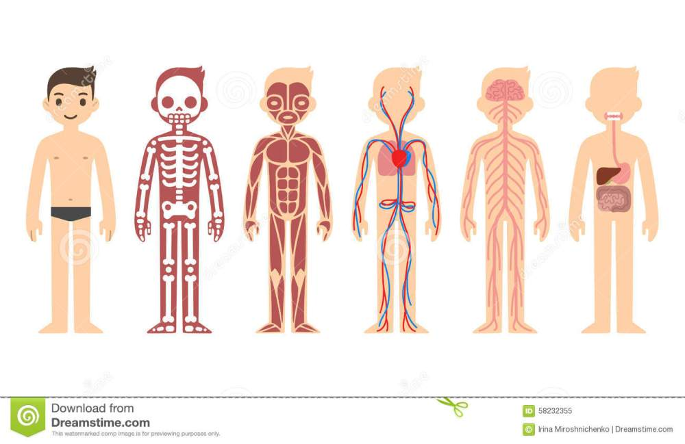 medium resolution of stylized male body anatomy chart skeletal muscular circulatory nervous and digestive systems flat cartoon style