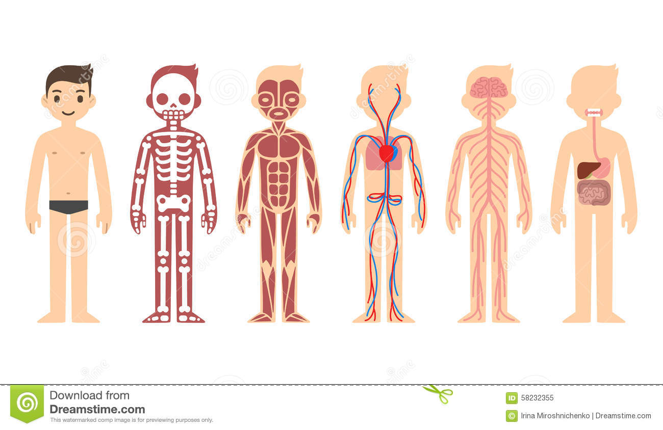 hight resolution of stylized male body anatomy chart skeletal muscular circulatory nervous and digestive systems flat cartoon style