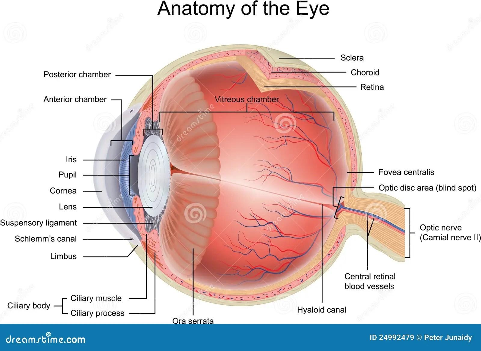 human eye diagram blind spot microsoft lync anatomy of the stock vector illustration biology
