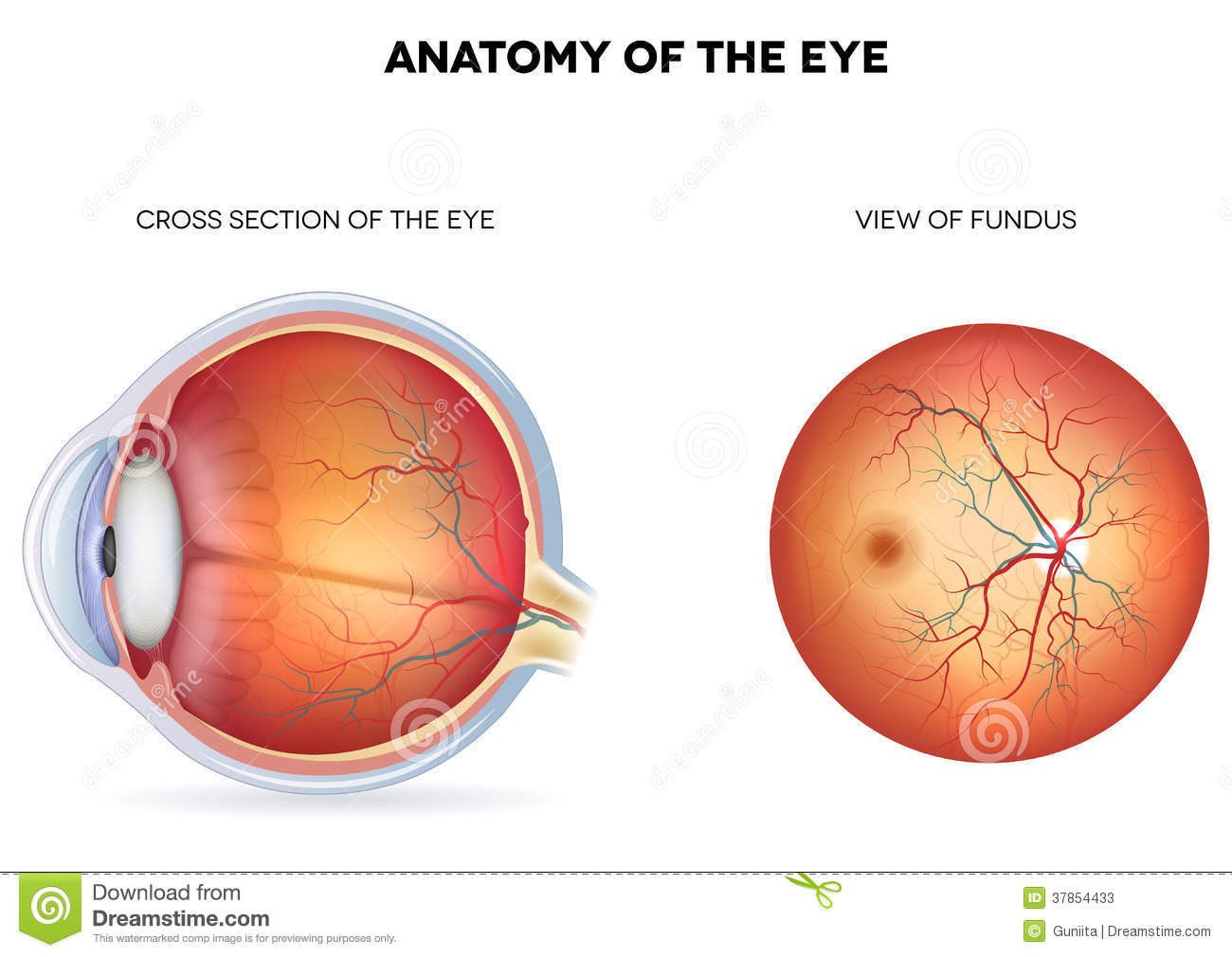 blind eye diagram agile software development process anatomy of the eye, cross section and view fund stock vector - image: 37854433