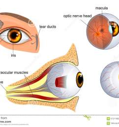 anatomical illustration of the eye the eyeball entirely and in the contex [ 1300 x 957 Pixel ]