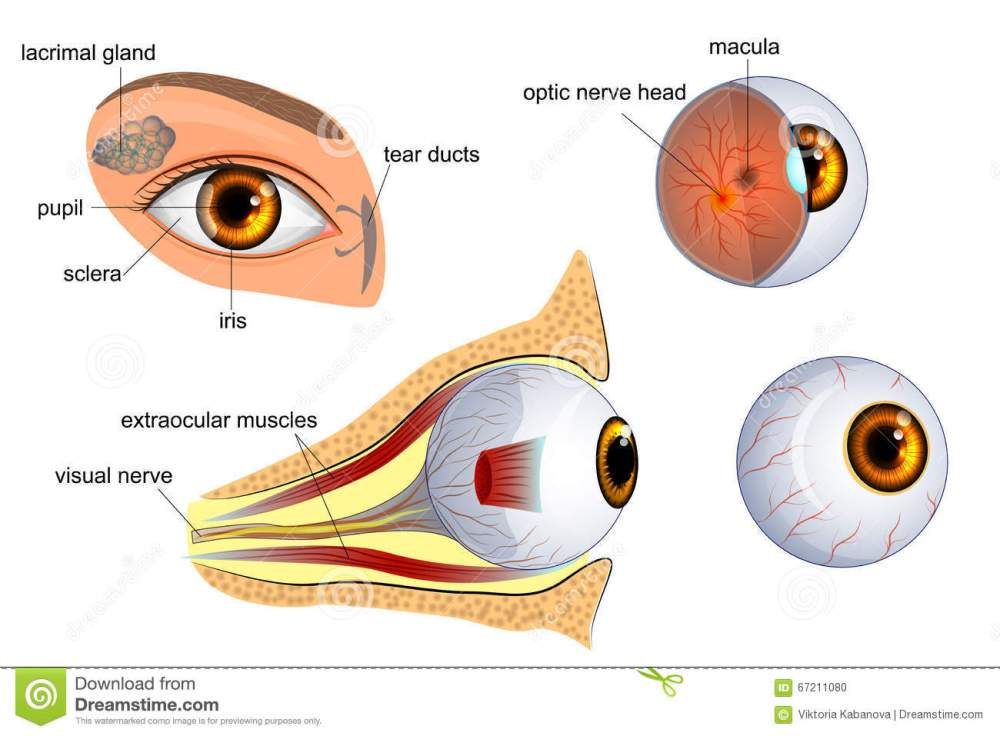 medium resolution of anatomical illustration of the eye the eyeball entirely and in the contex
