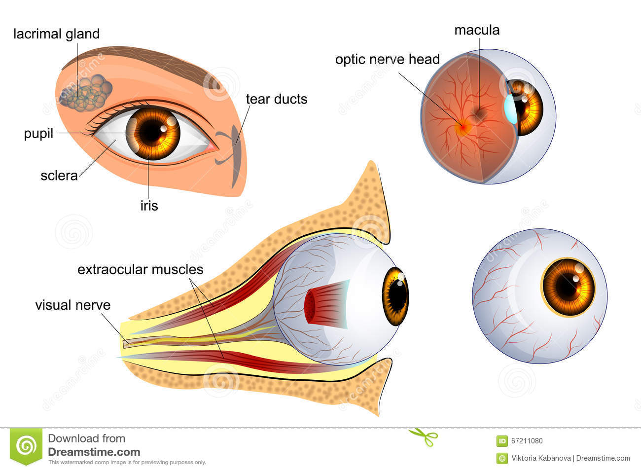 hight resolution of anatomical illustration of the eye the eyeball entirely and in the contex